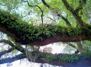 A Grand Oak Tree-  with Resurrection Fern