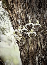 The Elusive Ghost Orchid- Florida