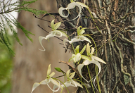 Ghost Orchid 8017