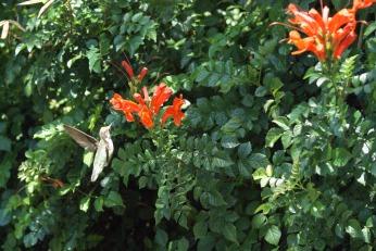 hummingbird serafiniamelia.me photography by Diana Serafini (15)