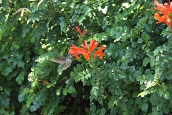 hummingbird serafiniamelia.me photography by Diana Serafini (14)