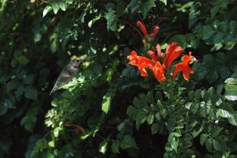 hummingbird serafiniamelia.me photography by Diana Serafini (13)