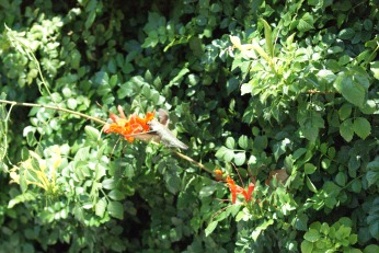 hummingbird serafiniamelia.me photography by Diana Serafini (12)