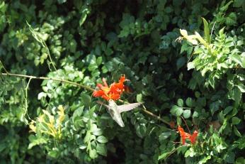 hummingbird serafiniamelia.me photography by Diana Serafini (11)