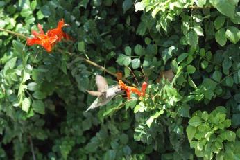 hummingbird serafiniamelia.me photography by Diana Serafini (10)