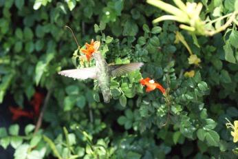 hummingbird serafiniamelia.me photography by Diana Serafini (9)