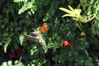hummingbird serafiniamelia.me photography by Diana Serafini (8)