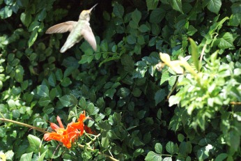 hummingbird serafiniamelia.me photography by Diana Serafini (6)