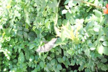 hummingbird serafiniamelia.me photography by Diana Serafini (2)