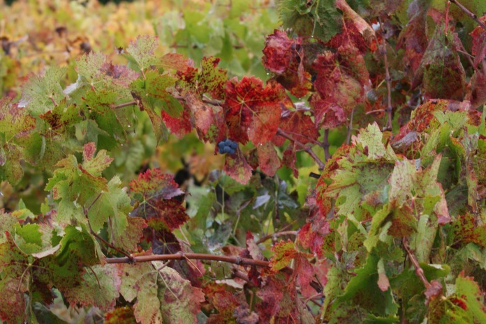 On the vine photography credit Diana Serafini (18)
