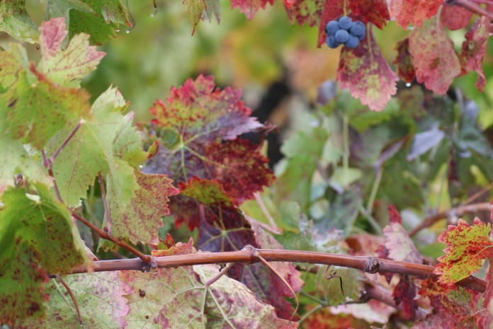 On the vine photography credit Diana Serafini (11)