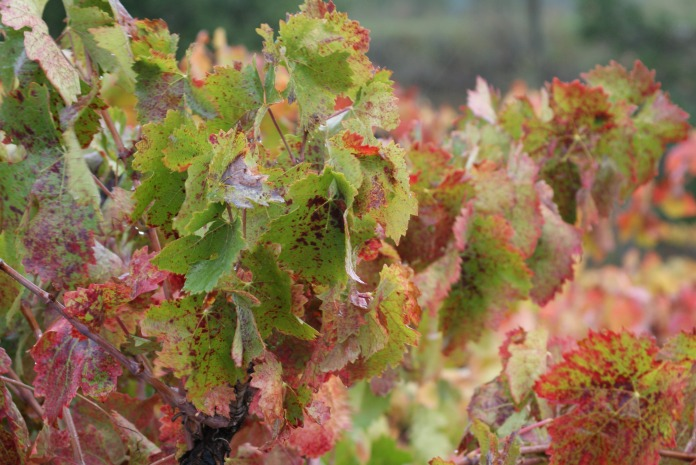 On the vine photography credit Diana Serafini (10)