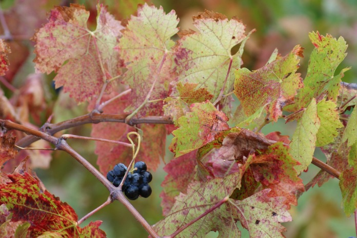 On the vine photography credit Diana Serafini (8)