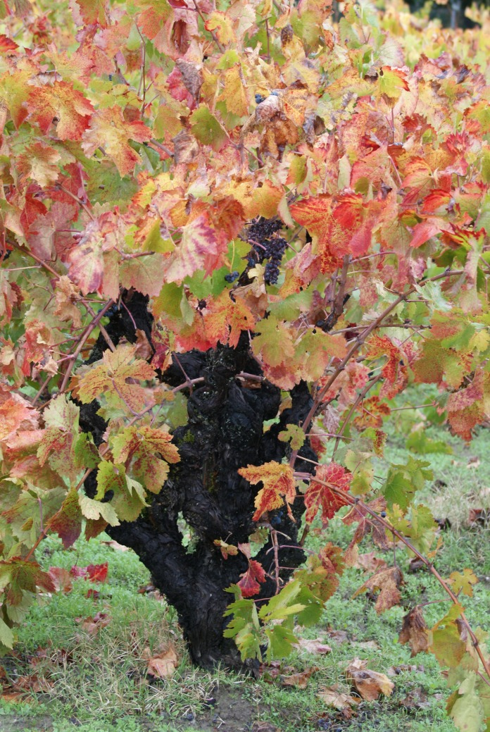 On the vine photography credit Diana Serafini (4)