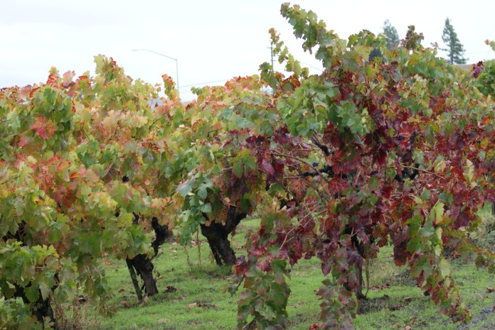 On the vine photography credit Diana Serafini (3)
