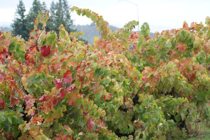On the vine photography credit Diana Serafini (2)
