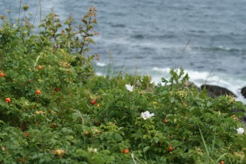 East Coast Coastal Rosehips photography by Diana Serafini 5